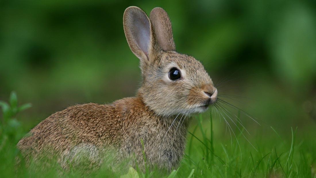 public://rabbit-opt.jpg